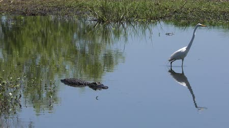 great egret walks away from alligator in Florida lake Стоковые видеозаписи