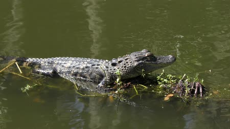 young alligator sunning in a swamp