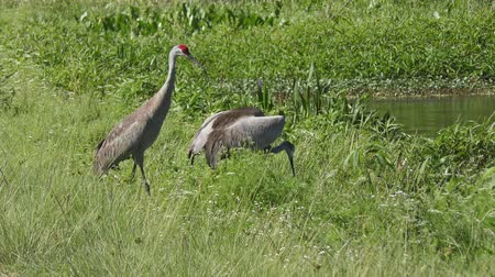 sandhill Cranes trying to scare away alligator in grass Стоковые видеозаписи