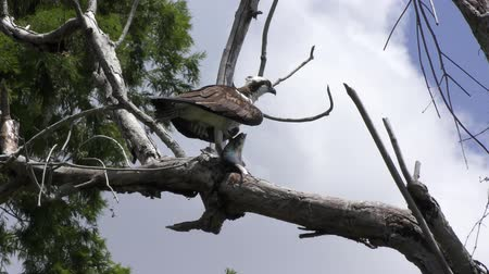 osprey perched with a large fish in Florida wetlands Wideo