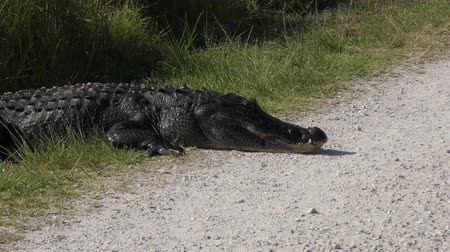 large alligator resting on a side of a country road Стоковые видеозаписи