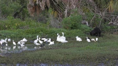 wading birds and wild hog feed in Florida swamp Стоковые видеозаписи
