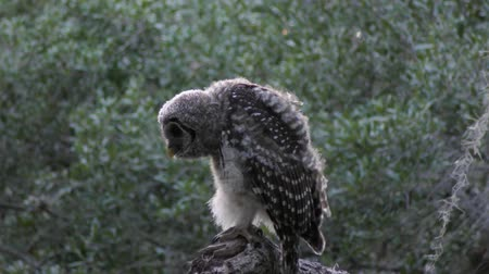 sowa : young barred owl in the evening woods Wideo