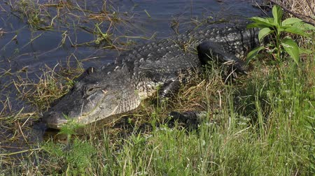 crocodilo : mother alligator with her babies near lake