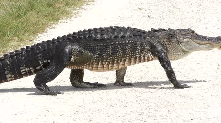 crocodiles : alligator with tumor on its jaw crossing Florida rural road