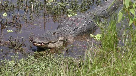 territorial : injured alligator resting after fight in Florida pond