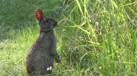 fauna : marsh rabbit feeds on grass in Florida