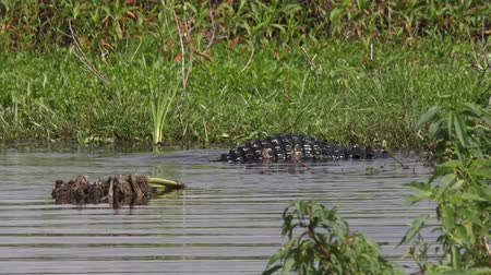 territorial : Florida alligators territorial fight during mating season Stock Footage