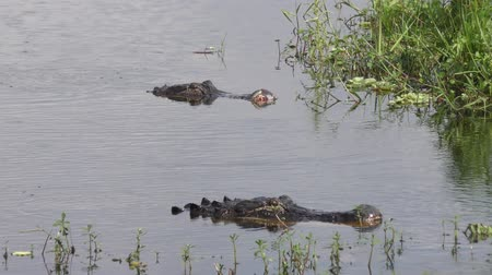 crocodilo : large alligators after fight in a lake Vídeos