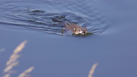 mysz : Muskrat (Ondatra zibethicus) swimming in a lake