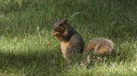 roedor : american fox squirrel feeds in the  grass Vídeos