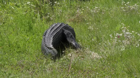 crocodilo : large injured alligator walking in the grass