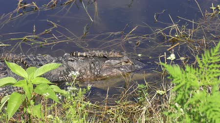 jacaré : baby alligator jumped out of its mother head Vídeos