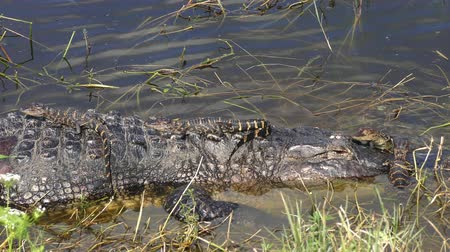 sunning : mother alligator with her babies