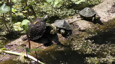 sunning : Florida Turtles Sunning On A Log in a swamp Stock Footage