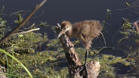 brodění : limpkin chick perched on a branch near lake
