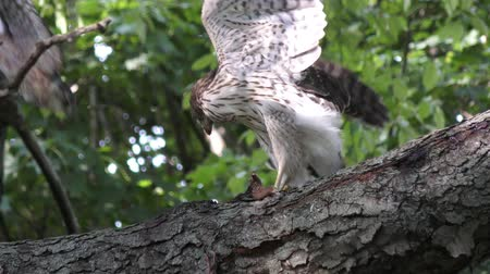 sas : Coopers hawk feeding on chipmunk on a branch Stock mozgókép