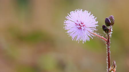 The wind blows flowers of Sensitive Plant  among the meadows. Stok Video