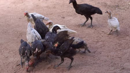 Slow motion scatter rice to feed chicken. Concepts of livestock or agriculture.