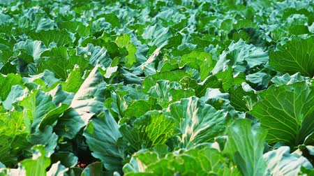 Dolly cabbage or cauliflower in the organic farm and evening sunshine. Concept of agriculture and harvesting. Stok Video