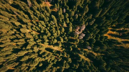 transilvânia : Pine trees seen from above