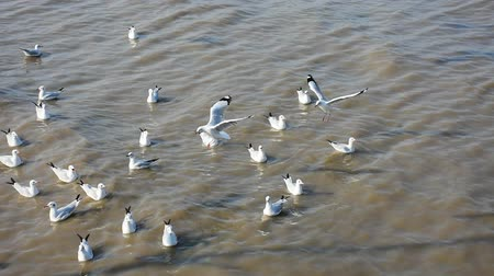 samut : Seagulls ,Birds Stock Footage