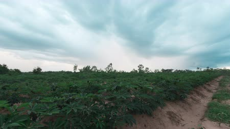 tapioca : Dramatic stormy and cloud is moving tapioca tree in farm, landscape time lapse
