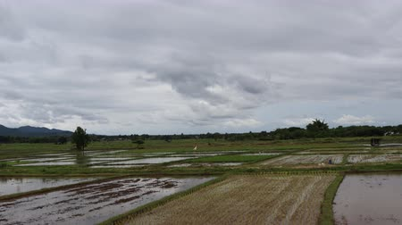 silvicultura : Dramatic stormy and cloud is moving rice field view,landscape time lapse, Vdo clip