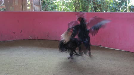 tortura : Los pollos golpean con Gamecocks sport, secuencias de video en movimiento