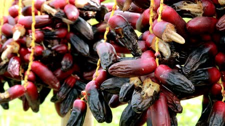 Vdo clip of Insects come to eat nectar on Dates palm branches with ripe dates