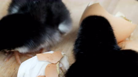 vdo : Vdo clip of Chicks are leaving eggs