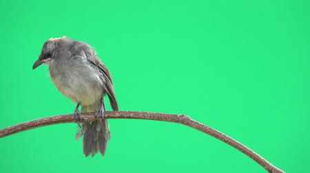 nevinný : Close up of young bird  perching on branch looking at photographer with sunlight and wind blowing feathers on green screen background, 4K video. Fledgling bulbul bird,front view.