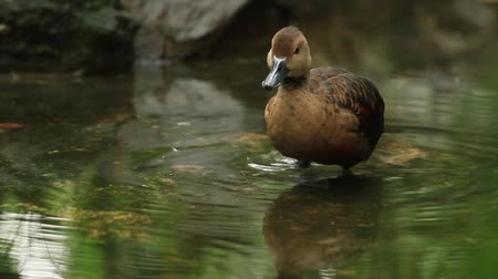 duck : Duck in pond