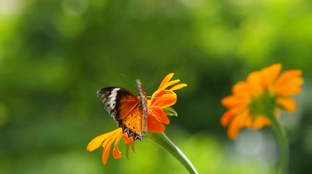 virág : Butterfly and orange flowers