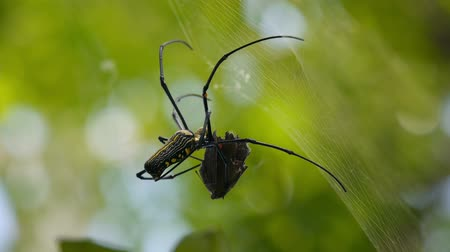 spider web : spider on the spider web with captured prey. Stock Footage