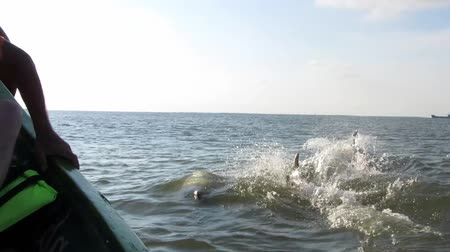 yunus : Jumping and swimming dolphins in the Black sea. View from a moving boat