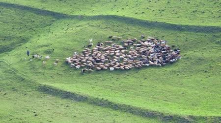 sheepfold : Herd of sheep pasture in the mountains