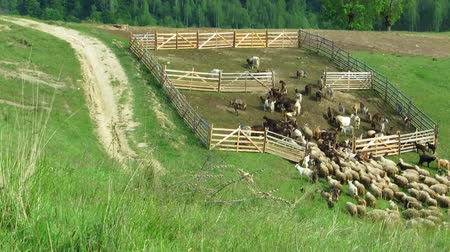 sheepfold : Fast forward view of a herd of sheep entering in a sheepfold Stock Footage