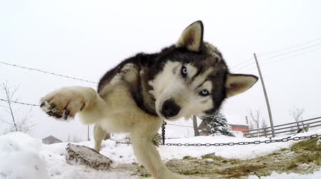 playing with a dog : Husky dog playing with a camera