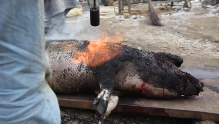 mangalitza : Slaughter burn the pig hair off with a gas burner before butchering