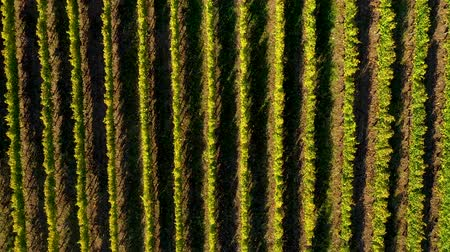 winnica : Epic aerial 4k drone movie of a vineyard in late afternoon lights