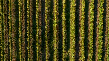 transilvânia : Epic aerial 4k drone movie of a vineyard in late afternoon lights