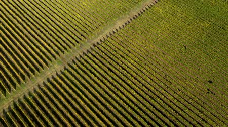 viticultura : Epic aerial 4k drone movie of a vineyard in late afternoon lights