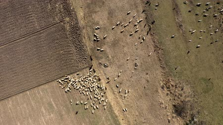 juhászkutya : Aerial drone 4k view of herd of sheep grazing in a meadow in the spring