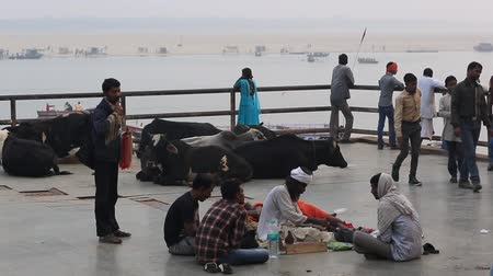 alku : Varanasi, India, December 2015. Cows in a ghat on the ganges river.
