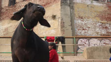 Varanasi, India, December 2015. Close up of water buffalo in a ghat on the Ganges River. Wideo