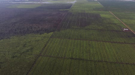 Kalimantan, Borneo, Indonesia, February 2016: Aerial view of palm plantations. Wideo