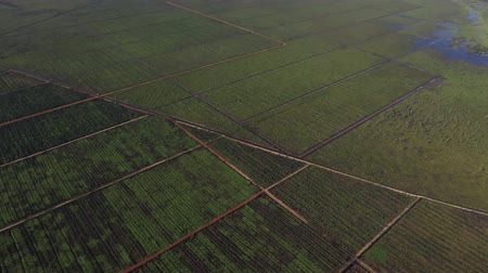 Kalimantan, Borneo, Indonesia, February 2016: Aerial view of palm plantations. Stock mozgókép