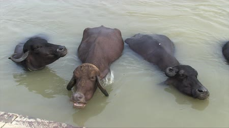 Water buffaloes bathing in a ghat on the Ganges River. Stock mozgókép