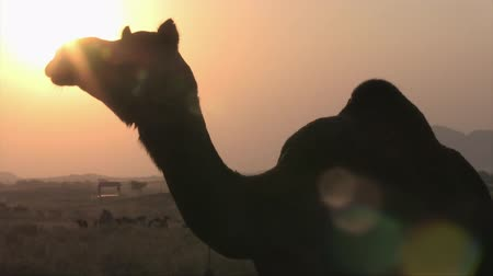 Silhouette of a dromedary at sunset at the camel fair in Puskhar, Rajasthan, India.